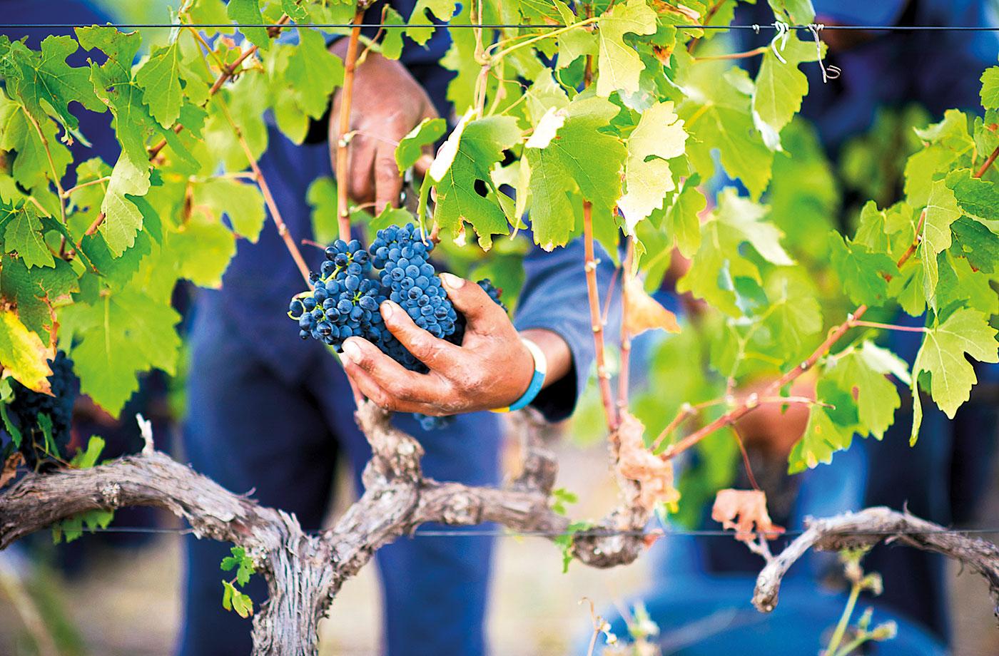 Hortfin Picking Grapes